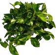 scindaptus 1