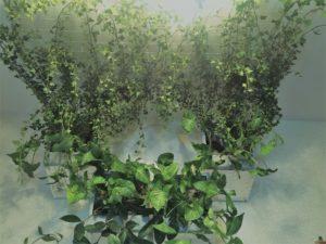 потолочное озеленение лианами