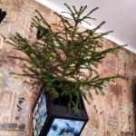 елка с корнем в кашпо